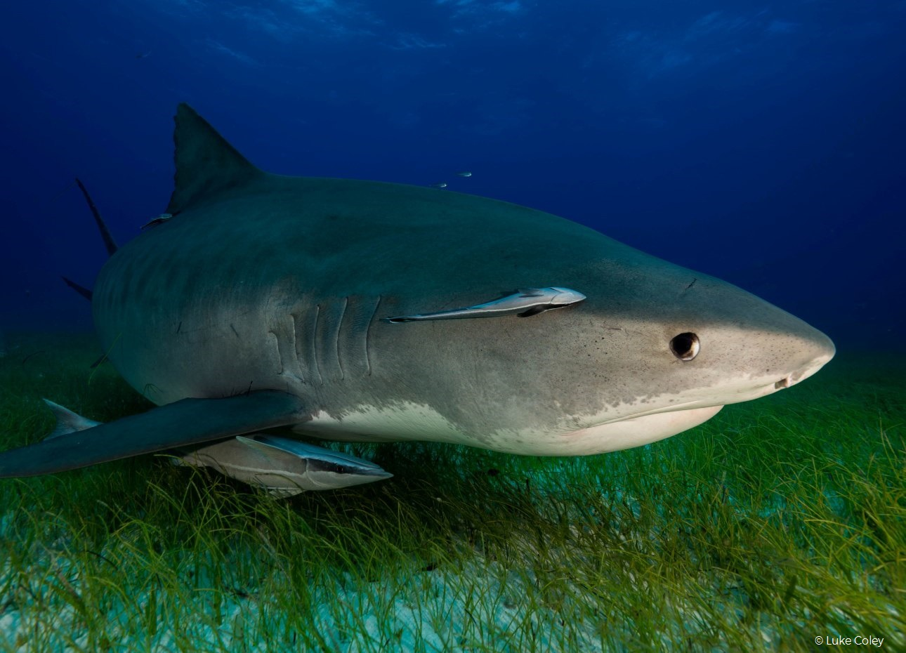 tiger-shark-underwater-photography-close-up-in-the-bahamas