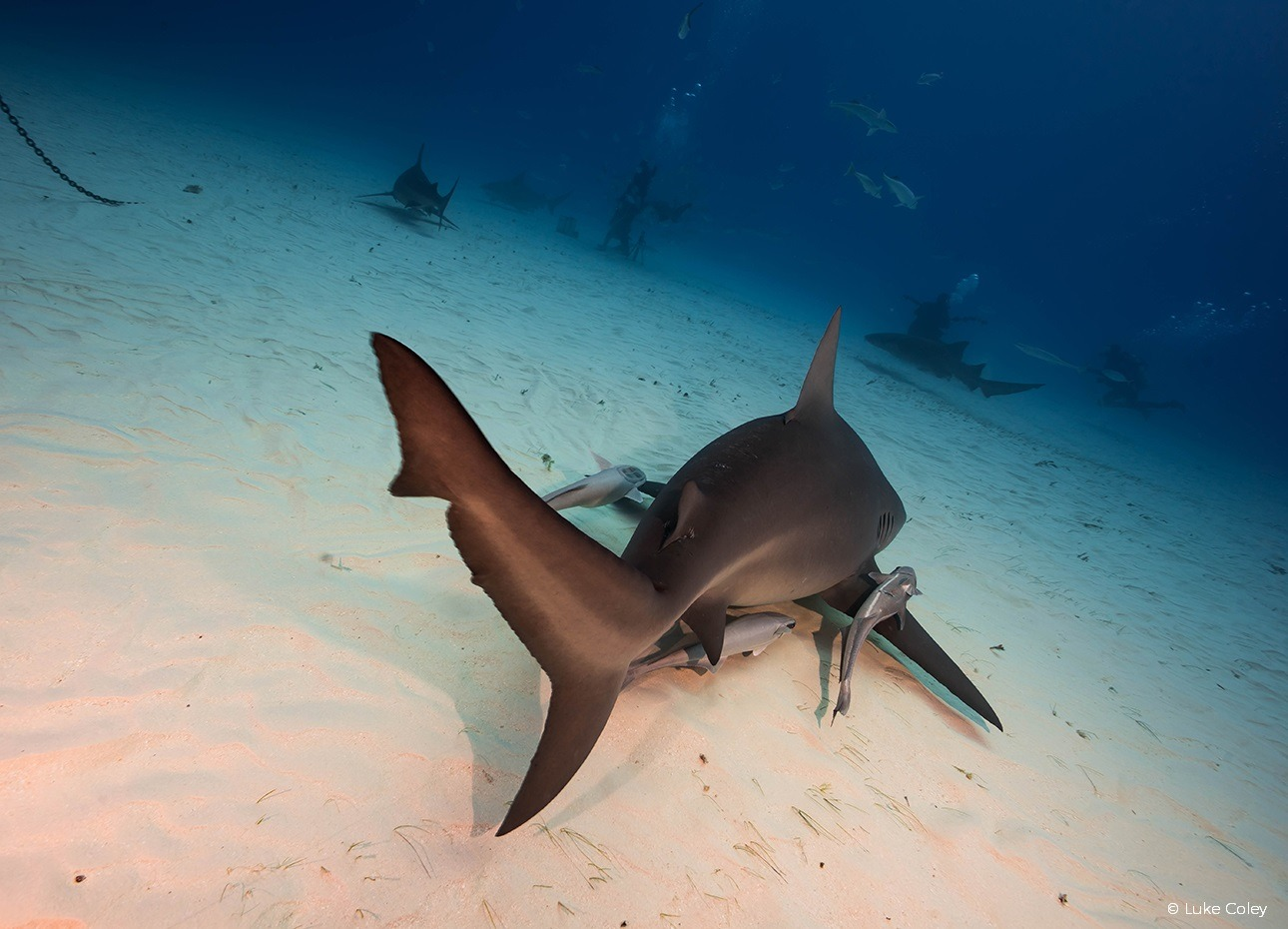 bull-shark-swimming-away-on-the-seabed-in-the-bahamas
