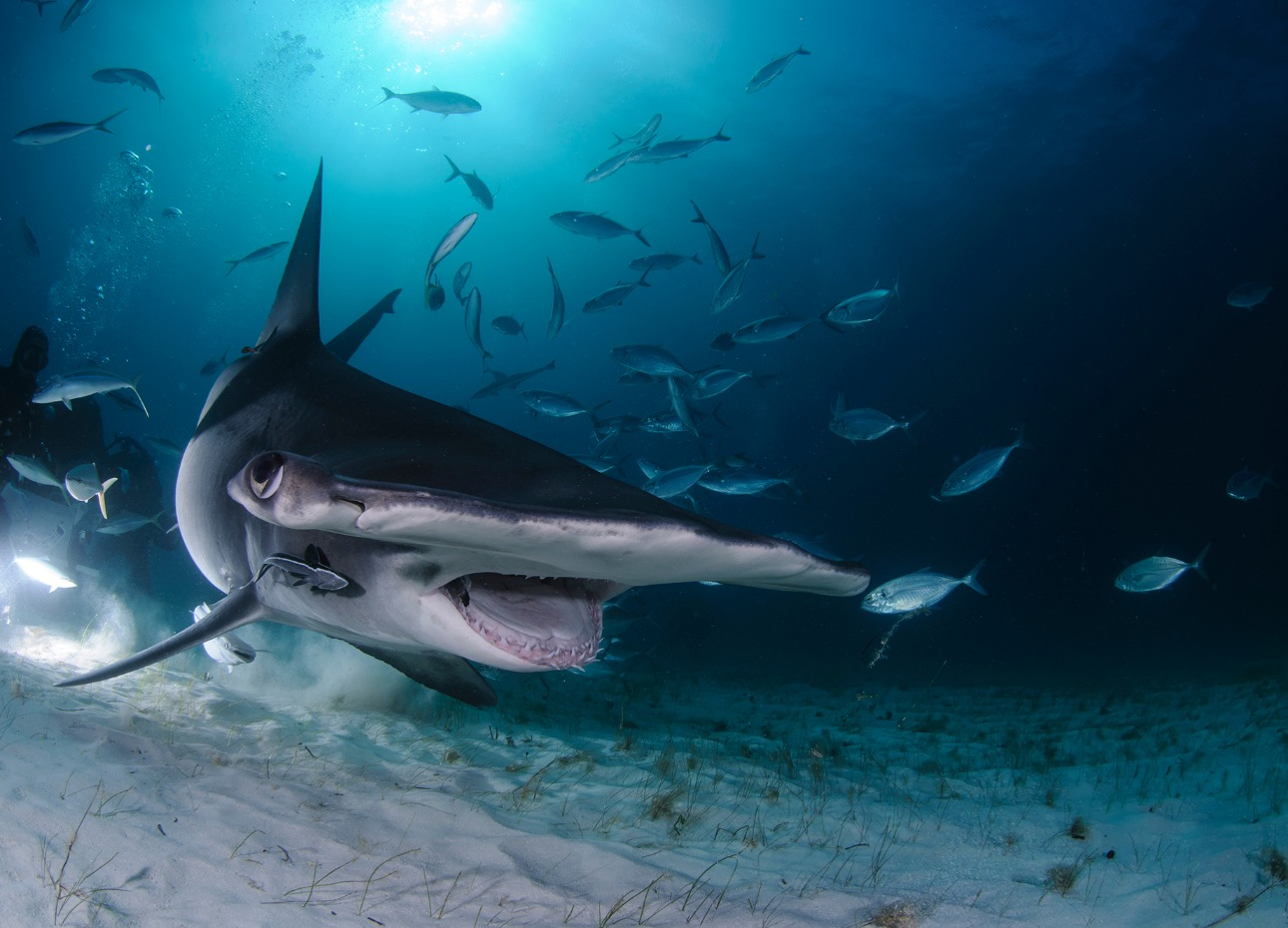 A close up shot of a great hammerhead shark on the seabed in the Bahamas