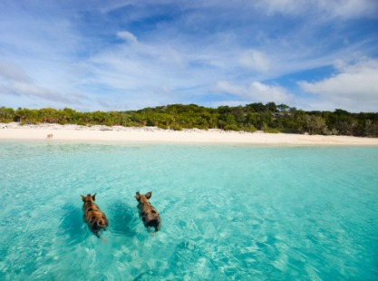 Pigs swimming at Pig Beach in the Bahamas