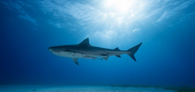 Tiger Beach and its typical resident, a solitary tiger shark