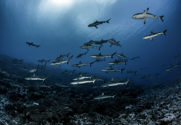 A big school of blacktip reef sharks in Fakarava, French Polynesia