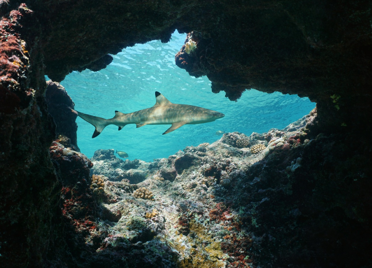 French Polynesia reef shark appearing through reef underwater