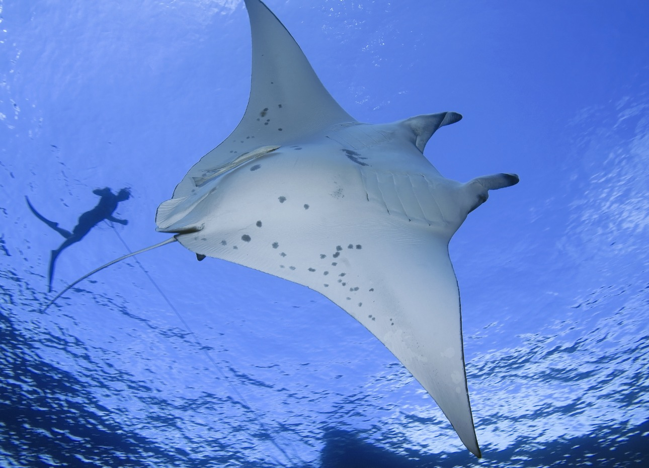 French Polynesia underwater image of manta ray and diver