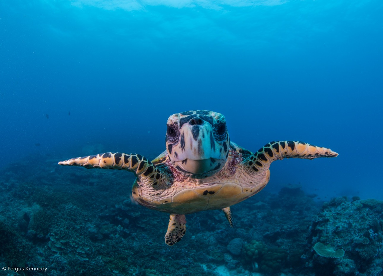 Turtle swimming through the Indian Ocean in the Maldives image, credit to Fergus Kennedy