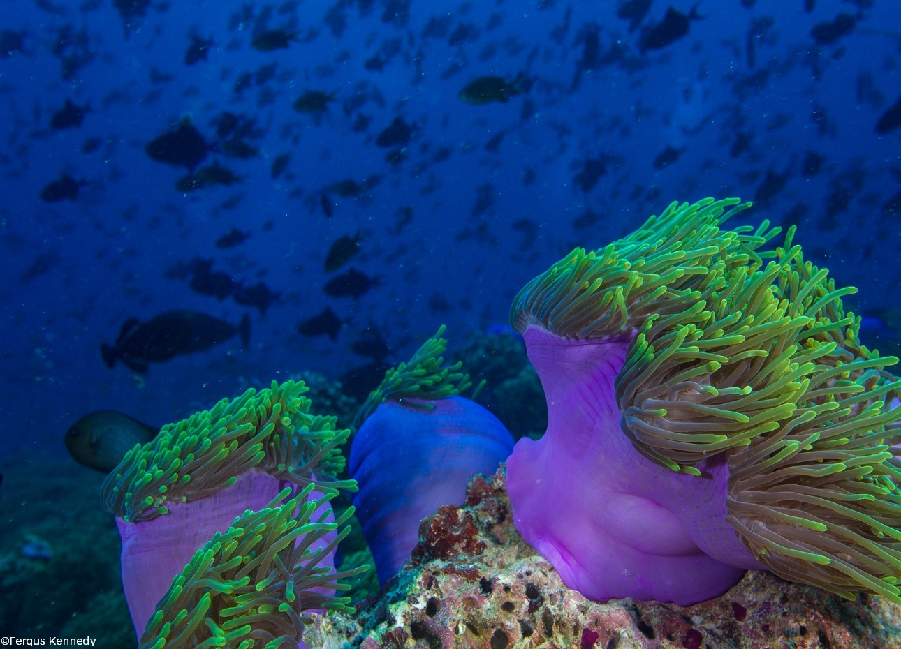 Sea anemone in the Indian Ocean, Maldives, image credited to Fergus Kennedy