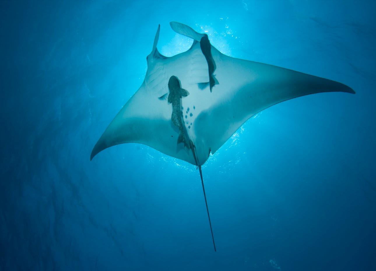 Manta Ray exploring the Indian Ocean, Maldives