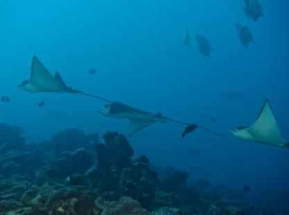 Mantas swimming in the Indian Ocean, Guraidhoo Kandu, South Male Atoll, Maldives