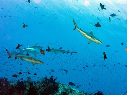Blacktip sharks swimming around Rasdhoo, Maldives