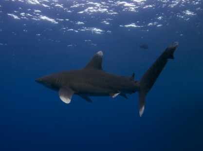 An oceanic whitetip shark in the open at Elphinstone Reef in the Red Sea, Egypt