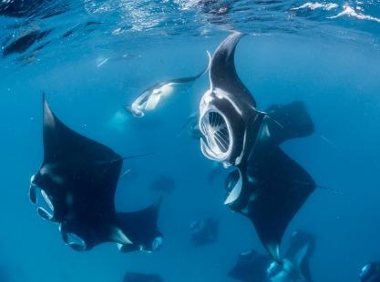 Manta rays swimming arounf Hanifaru Bay, Baa, Maldives