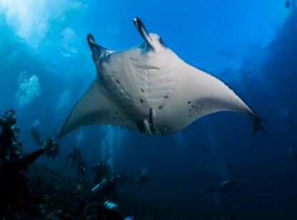 Raa and Noonu Atolls, manta ray, Maldives