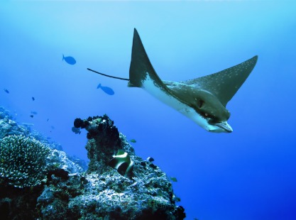 Manta ray swimming past the coral reefs of Thaa Atoll, Maldives