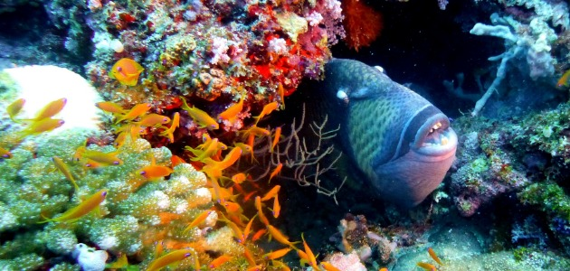 Napoleon wrasse hidden amongst brightly coloured corals, central atolls, Maldives