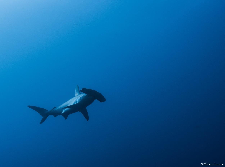 Hammerhead shark in the Red Sea, Egypt