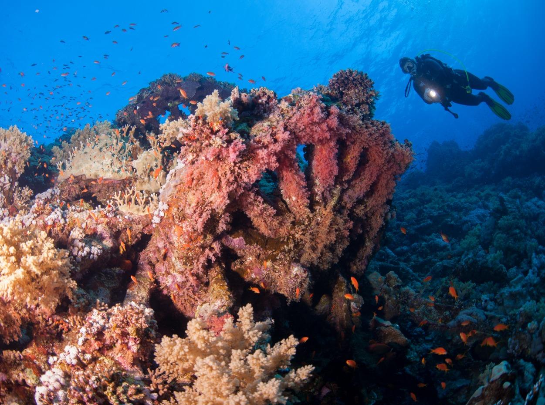 Scuba diver inspecting corals at Brother Islands