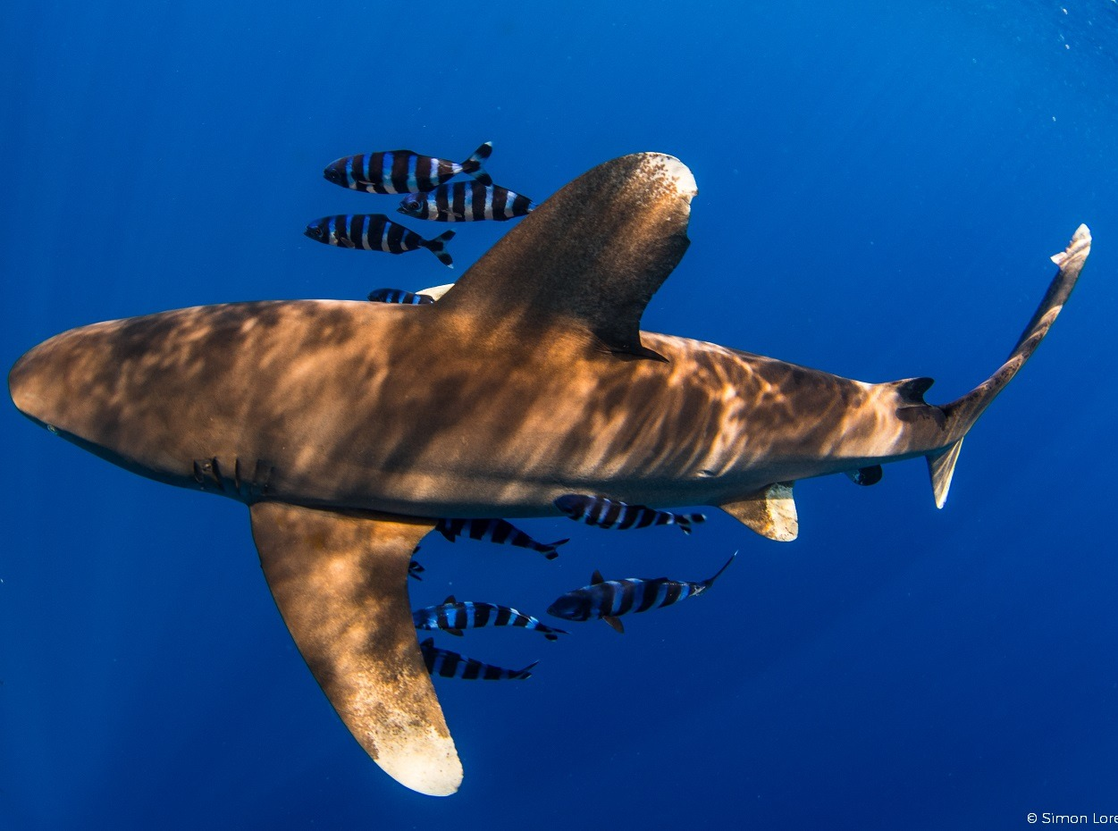 Oceanic whitetip shark cruises by in the Red Sea, shot by Simon Lorenz
