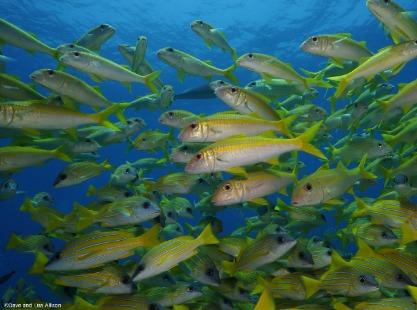 School of exotic yellow fish, Maldives