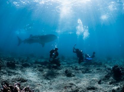 Divers watching a whale shark swim past, Maldives