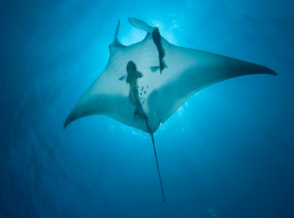 Manta ray exploring the Indian Ocean, Maldives