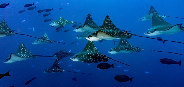 Group of eagle rays swimming along underwater, Maldives