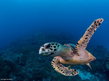 Turtle swimming through the Indian Ocean, Maldives, credit to Fergus Kennedy