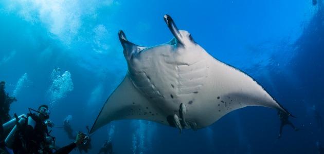 Manta ray surrounded by divers photographing the manta, maldives