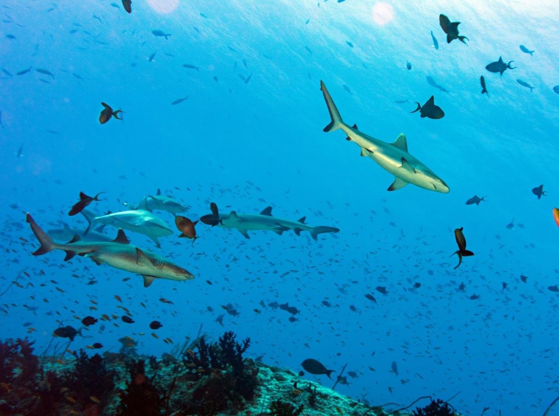 Schooling blacktip reef sharks in the Indian Ocean, Maldives