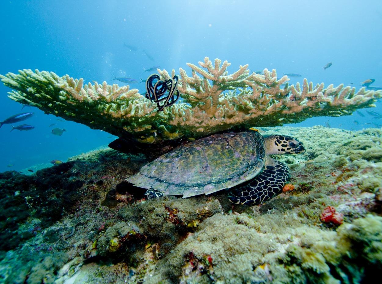 Turtle underneath coral on Maldives reef