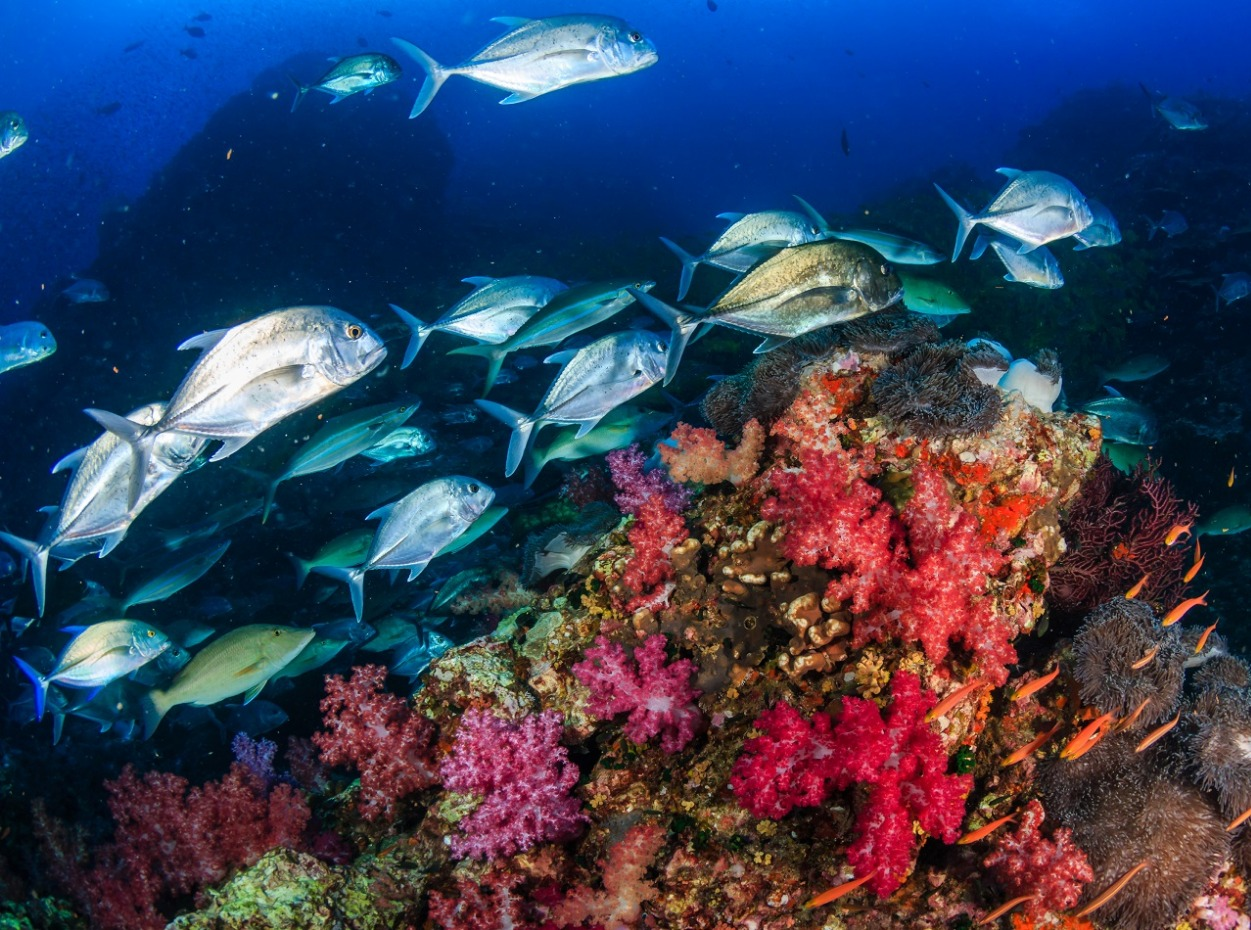 School of fish above a brightly coloured coral reef in the Maldives