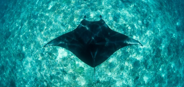 Majestic manta ray in crystal clear wasters, Maldives