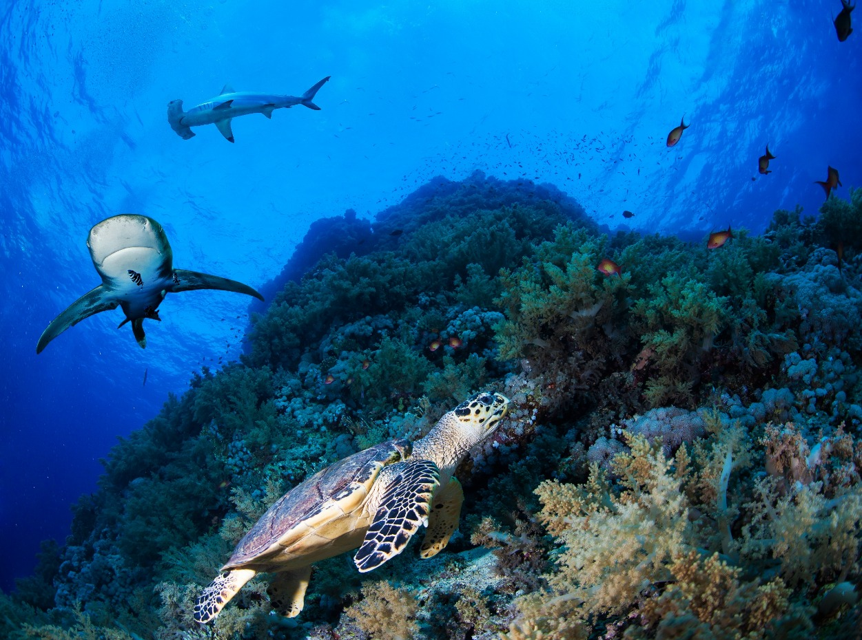 Turtle, oceanic whitetip and hammerhead shark at reef in Egypt, Red Sea