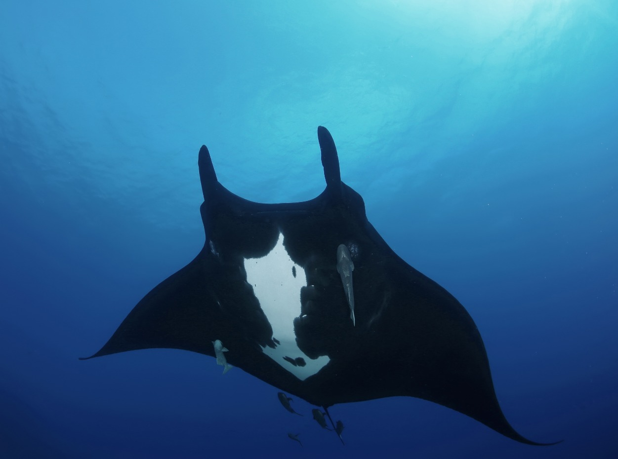 Oceanic manta ray in the Galapagos