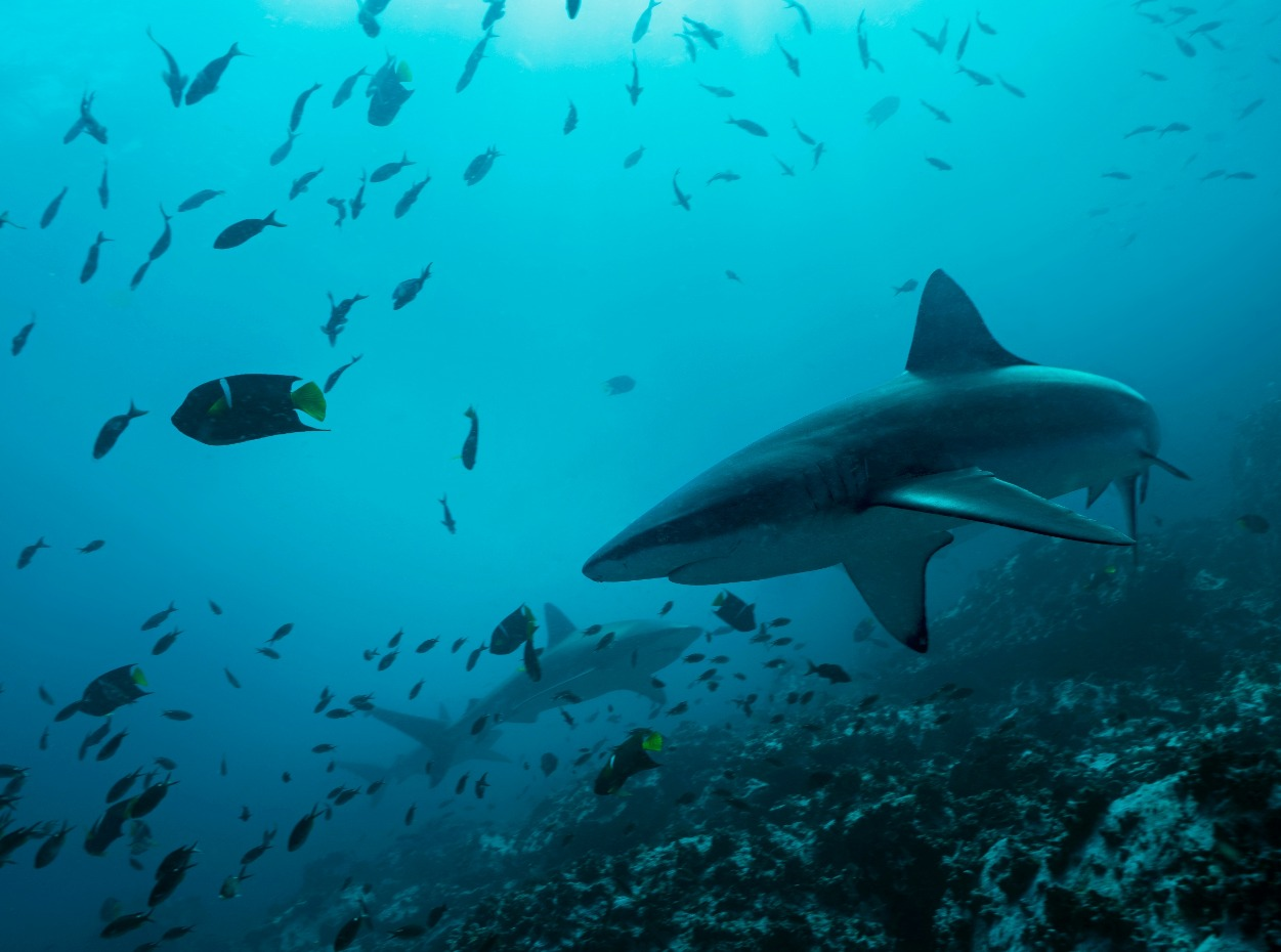 Underwater image of shark in the Galapagos