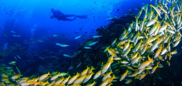 School of yellow snapper fish in the Maldives