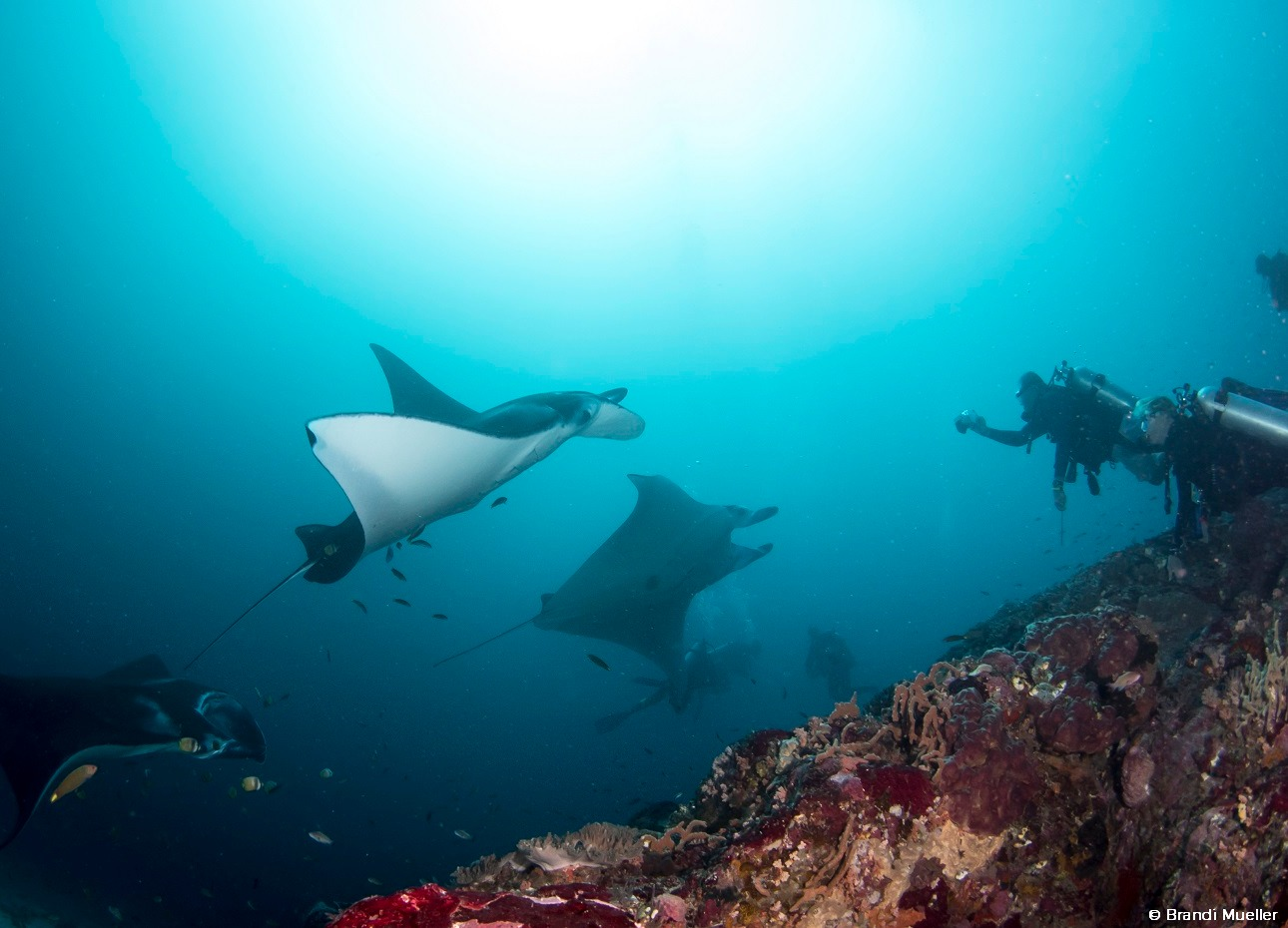 Manta rays watched by scuba divers at Indonesian reef dive site