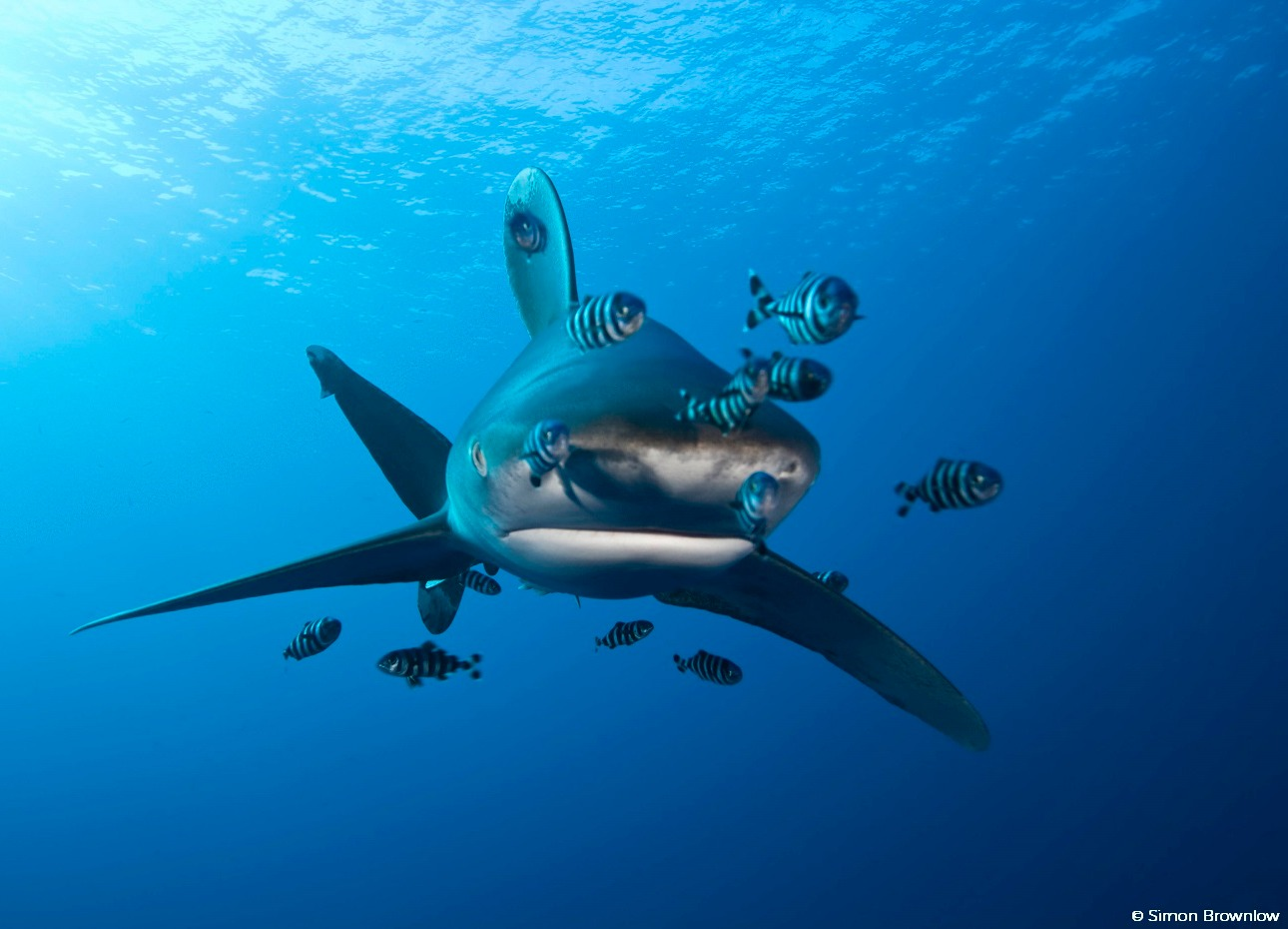 An oceanic whitetip shark captured by Simon Brownlow in Indonesia