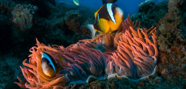 Exotic fish amongst the sea anemone of the Maldives