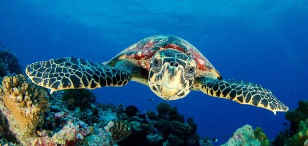 Hawksbill sea turtle swimming towards the camera, Maldives
