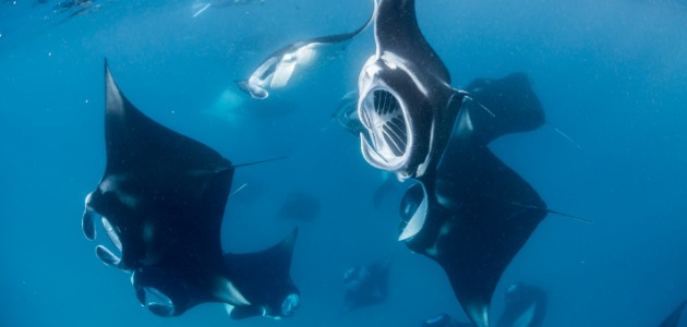Fever of manta rays swimming in the Indian Ocean, Maldives