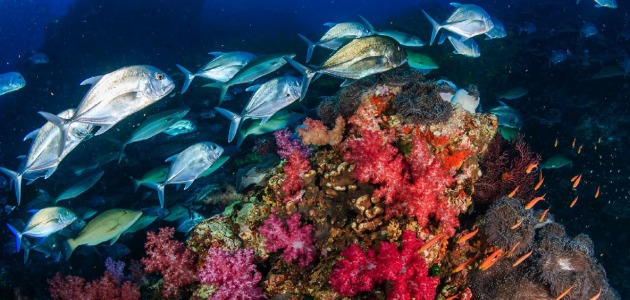 Brightly coloured coral reefs with school of fish swimming above, Maldives