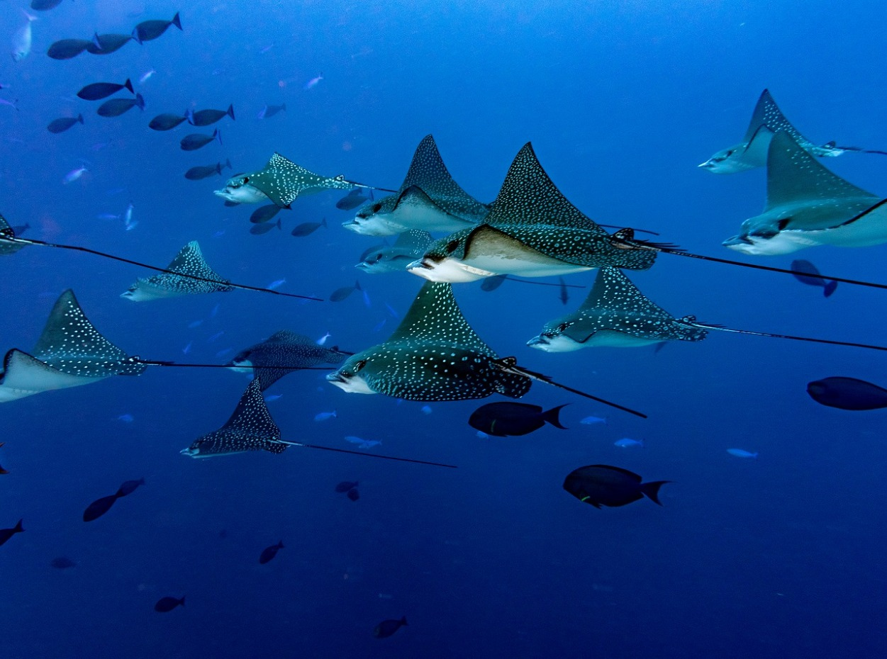 Fever of eagle rays in the blues of the Maldives