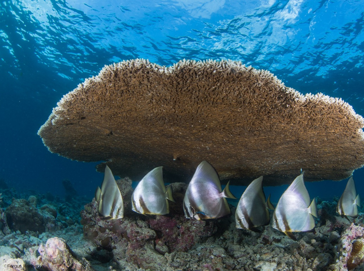 Fish sheltering under the corals of the Maldives reefs