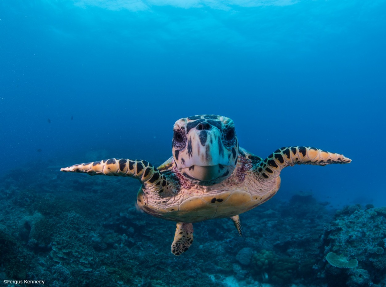 Friendly turtle swimming towards the camera, Maldives. Credit to Fergus Kennedy