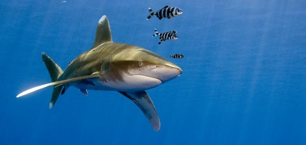 Whitetip reef shark swimming through the Indian Ocean