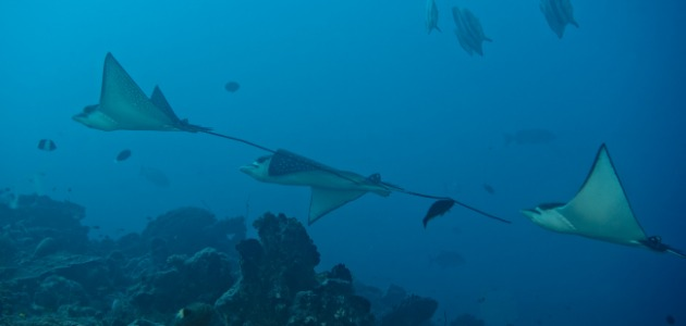 Chain of eagle rays swimming by, Maldives