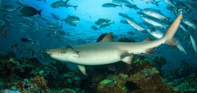 Grey reef shark swimming alongside a school of fish, Maldives