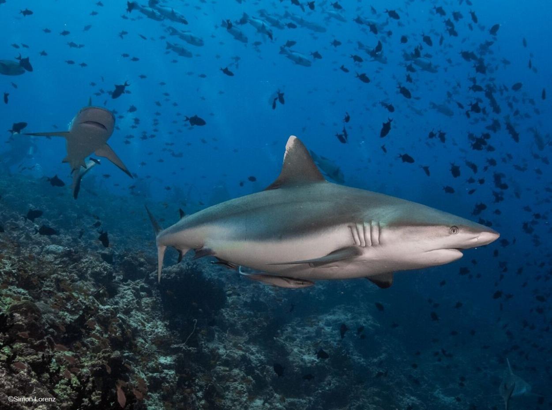 Grey reef shark swimming along the reef, Maldives