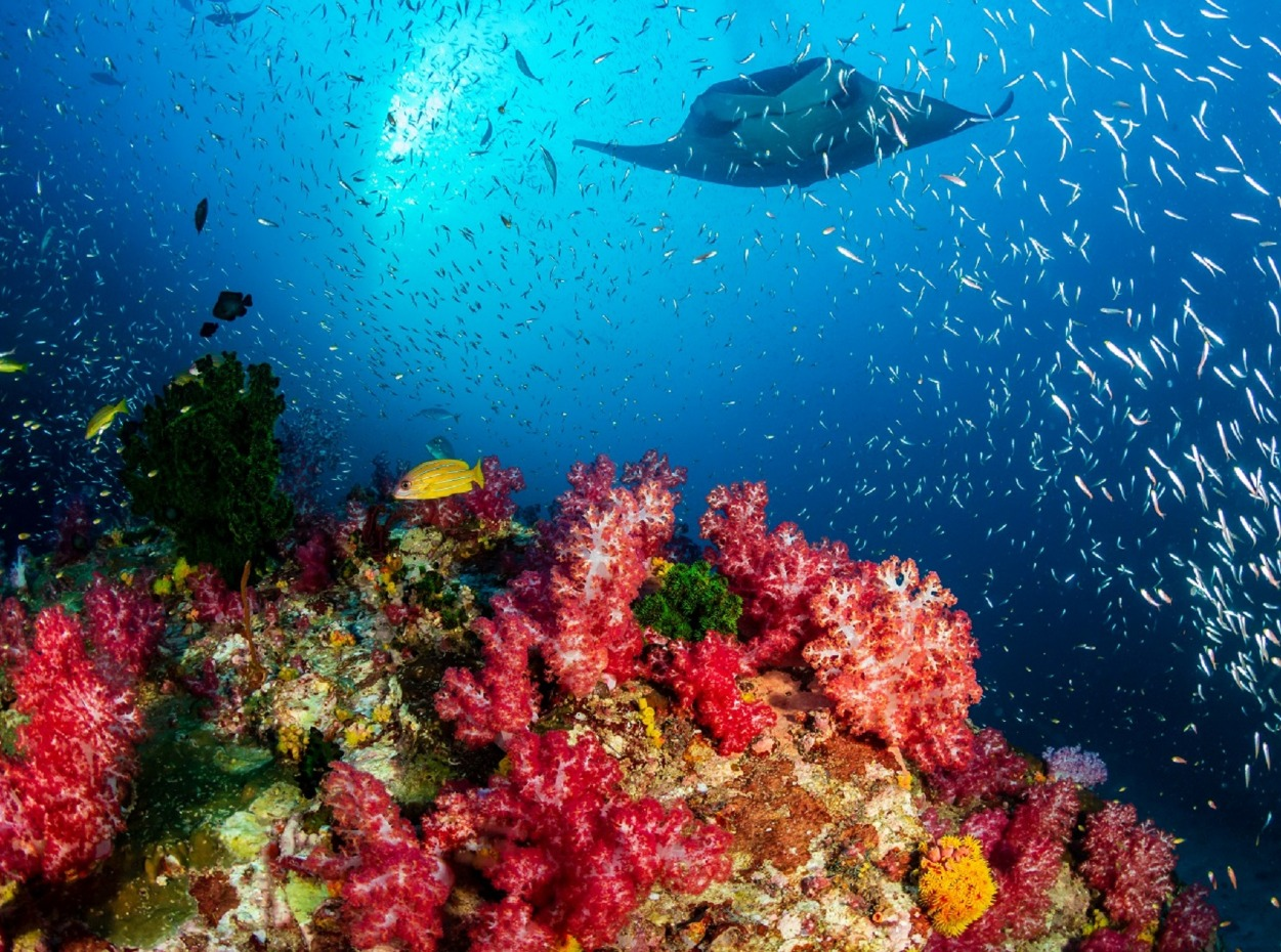 Brightly coloured corals with manta ray silhouette