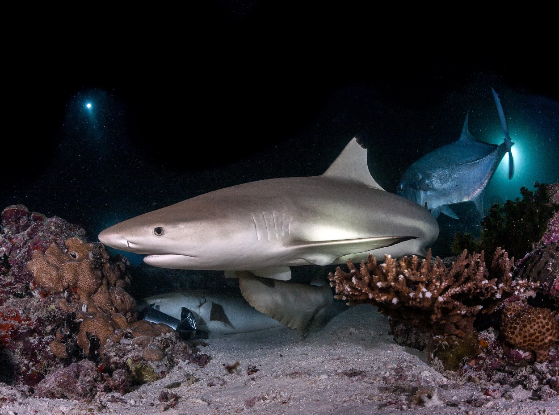 Grey reef shark swimming along the seabed, Maldives